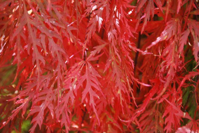 Acer Palmatum Dissectum Orangeola Stephen Ryan