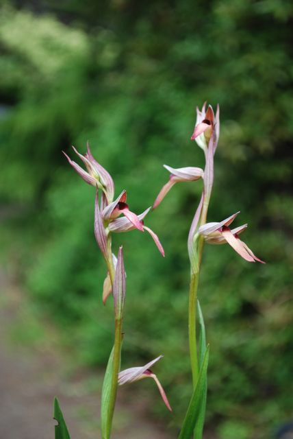 how to grow deciduous terrestrial orchid serapias lingua