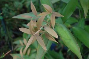 Agathis atropurpureum