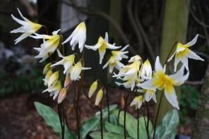 Erythronium multiscapodium