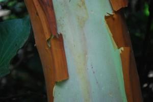 Arbutus glandulosa