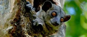 WEB-Red-tailed_Sportive_Lemur,_Kirindy,_Madagascar_2