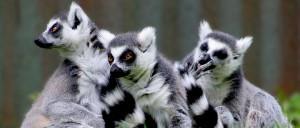 WEB-Ring-tailed-Lemur(Lemur-Catta)-Madagascar