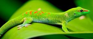 WEB-gecko-madagascar