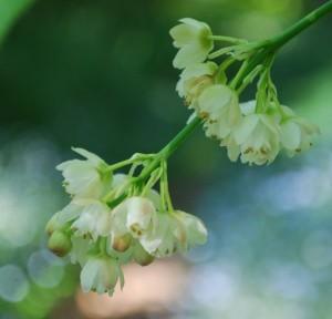 Staphylea holicarpa
