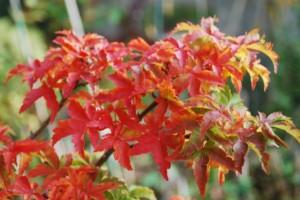 Acer palmatum 'Shishi Gashira'