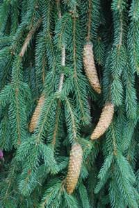 Picea abies 'Reflexa'