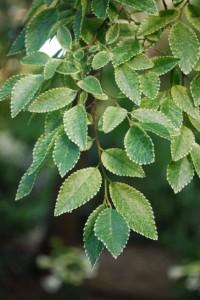 Ulmus parvifolia 'Frosty'