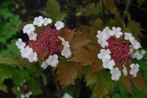Viburnum sargentii 'Onondaga'