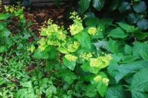 Smynium perfoliatum