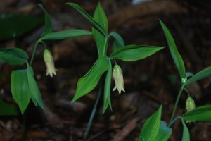 Uvularia sessilifolia 'Cobblewood Gold'