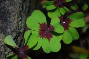Oxalis tetraphylla 'Iron Cross'
