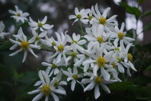 Montanoa leucantha arborescens