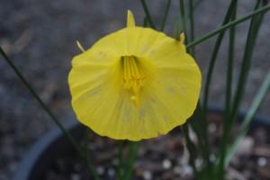 Narcissus 'Ben Blur'