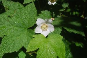 Rubus parviflora