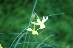 Narcissus 'Angels Breath'