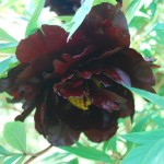 Paeonia 'Black Panther'