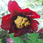 Paeonia 'Corsair'