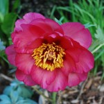 Paeonia 'Solitude'