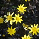 Ranunculus ficaria 'Brazen Hussy