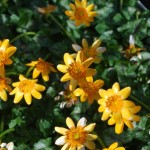 Ranunculus ficaria 'Cupreus'