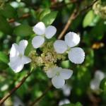 Hydrangea scandens ssp