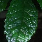 Aucuba chinensis