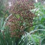 Eryngium pandanifolia