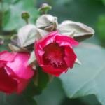 Phymosia rosea
