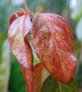 Euonymus fortunei 'Coloratus'